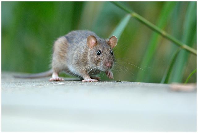 Jak skutecznie pozbyć się szczurów i myszy.