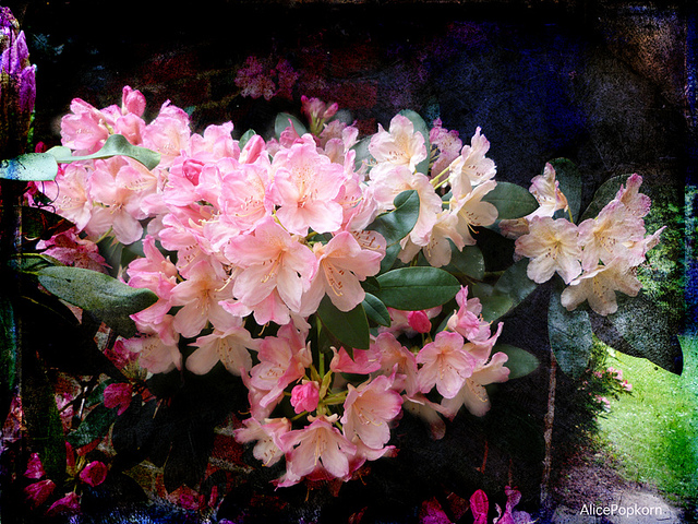 Uprawa Rhododendrona.