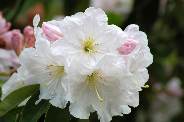 Rhododendrony i ich uprawa.