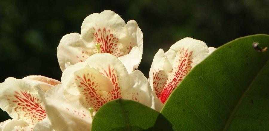 Rhododendrony w przydomowym ogrodzie.
